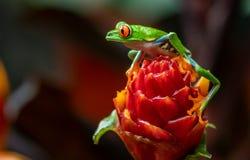 Roter gemusterter Baumfrosch stockfotos