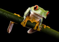 Roter gemusterter Frosch lizenzfreie stockfotografie