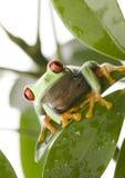 Roter gemusterter Frosch Stockbilder