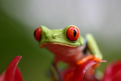 Roter gemusterter Frosch Stockbild