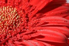 Roter Gerbera Stockbild