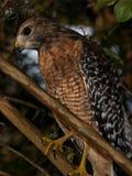 Roter geschulterter Falke lizenzfreie stockfotografie
