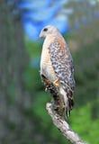 Roter geschulterter Falke stockbilder