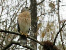 Roter geschulterter Falke im Baum stockbild