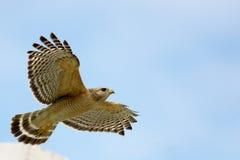 Roter geschulterter Falke im Flug Stockbilder