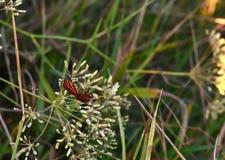 Roter gestreifter Käfer - graphosome mit einer Frau stockbild