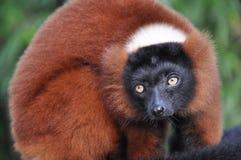 Roter getrumpfter Lemur Stockfoto