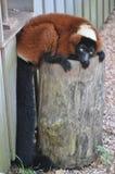 Roter getrumpfter Lemur Stockbilder