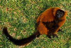 Roter getrumpfter Lemur mit einem misstrauischen Blick Stockfotos