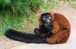 Roter getrumpfter Lemur (Varecia rubra) Lizenzfreies Stockfoto