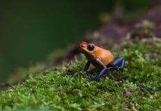 Roter Gift-Pfeil-Frosch Stockbild