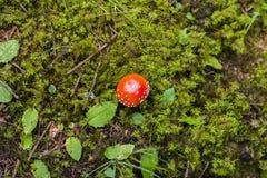 Roter giftiger Pilz lizenzfreies stockfoto