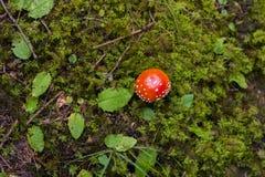 Roter giftiger Pilz stockfoto