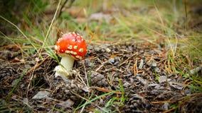 Roter giftiger Pilz im Herbstwald Lizenzfreies Stockbild
