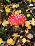 roter Giftpilz nahe bei liegen gelbe und braune Blätter stockbilder
