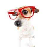 Roter Glashund mit einem schuldigen Blick drückte Ohren Lizenzfreies Stockfoto