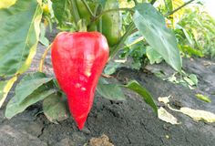Roter grüner Pfeffer, der im Garten wächst Stockfotografie