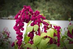 Roter großer Amarant der Blume und der Anlage, Nahaufnahme, botanisch, Blüte stockfotografie