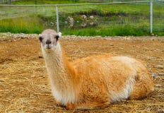 Roter Guanaco, der aus den Grund in einem zoogrinpark in Karelien liegt lizenzfreie stockbilder
