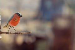 Roter hölzerner Vogel auf einer Niederlassung Stockfotos
