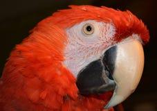 Roter hübscher Keilschwanzsittich Stockfoto