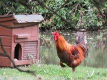 Roter Hahn auf einem Bauernhof Stockfotografie