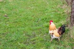Roter Hahn gegen den Grashintergrund Lizenzfreies Stockfoto