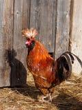 Roter Hahn im Geflügelhof Stockbild