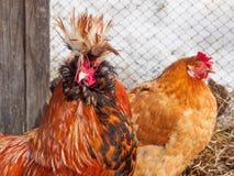 Roter Hahn im Geflügelhof Lizenzfreie Stockfotos