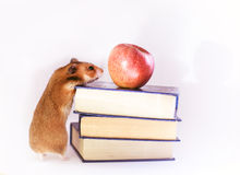 Roter Hamster, Apfel und Bücher lokalisiert auf weißem Hintergrund Stockbilder