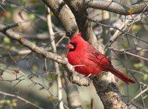 Roter hauptsächlicher Vogel auf dem Baum Stockfotos