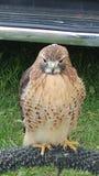 Roter Heck-Falke stockbilder