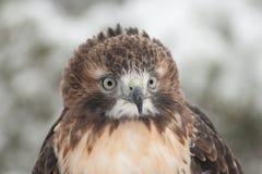 Roter Heck-Falke im Schnee Lizenzfreies Stockbild
