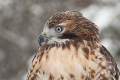 Roter Heck-Falke im Schnee Lizenzfreie Stockbilder