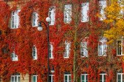 Roter Herbst der wilden Trauben, zur Hausmauer Stockbild