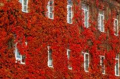 Roter Herbst der wilden Trauben, zur Hausmauer Stockfoto
