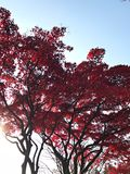 Roter Herbstbaum mit blauem Himmel Lizenzfreies Stockbild