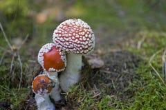 Roter Herbstgiftpilz, der in einem grünen europäischen Wald wächst Stockfotografie
