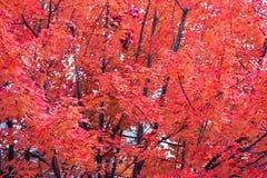 Roter Herbstlaub Stockfoto