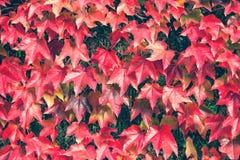 Roter Herbstlaub auf dem Zaun Stockfotografie