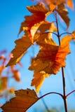 Roter Herbstlaub auf einem blauen Hintergrund Stockfotografie