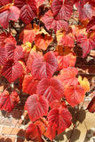 Roter Herbstlaub gegen eine Wand des roten Backsteins Stockfoto