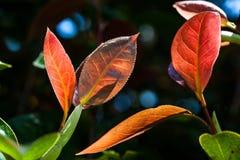 Roter Herbstlaub mit Adern im hellen Sonnenlicht auf unscharfem Hintergrund Stockbild