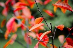 Roter Herbstlaub mit unscharfem Hintergrund Stockfotografie