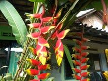 Roter hHeliconia Blumengarten Stockbilder