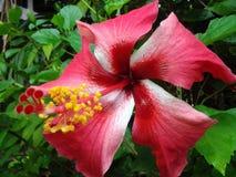 Roter Hibiscus Lizenzfreies Stockfoto