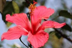 Roter Hibiscus Stockfotos
