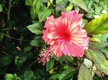 Roter Hibiscus lizenzfreie stockfotos