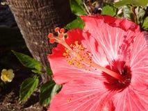Roter Hibiscus Stockbild