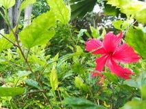 Roter Hibiscus Lizenzfreie Stockbilder